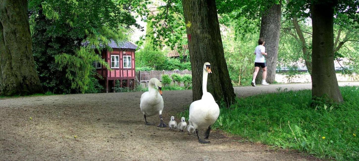Swan family odense