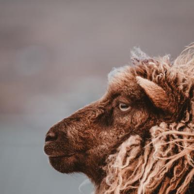 A brown sheep looking wistful on the Faroe Islands -  Isole Faroe